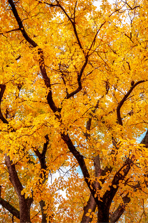 autumn tree with bright yellow leaves.
