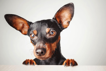 portrait of a dog on a white background. Dwarf pinscher stands on hind legs, studio portrait Stock Photo