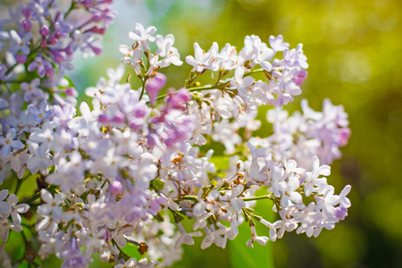 blossoming lilac with a background in bokeh, close up photo