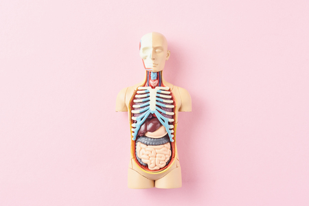 Anatomical model of human body with internal organs on pink background. Anatomy body mannequin