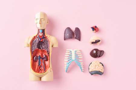 Human anatomy mannequin with internal organs on pink background top view