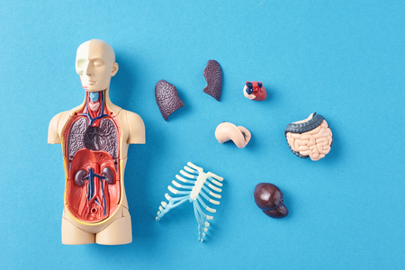 Human anatomy mannequin with internal organs on blue background top view Stock Photo