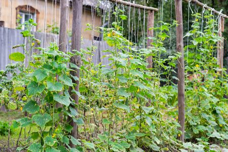 Growth and blooming cucumbers plant on bushes in garden 版權商用圖片