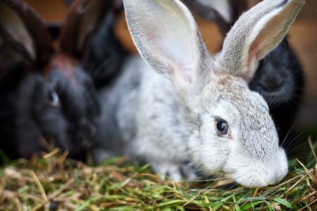 Gray and black bunny rabbits eating grass, close up Stok Fotoğraf - 129210693