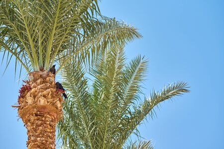 palm tree with date fruits against blue sky