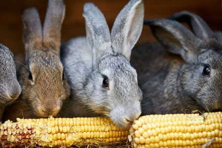 Gray and brown rabbits eating ear of corn in cage