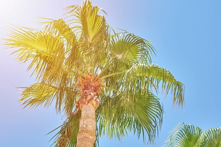 palm tree with date fruits against blue sky. Summer travel concept