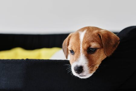 Sad jack russel terrier dog lies in bed Archivio Fotografico