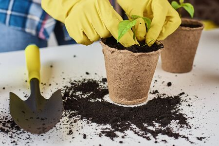 Woman hands in yellow gloves transplating plant. Plant care concept
