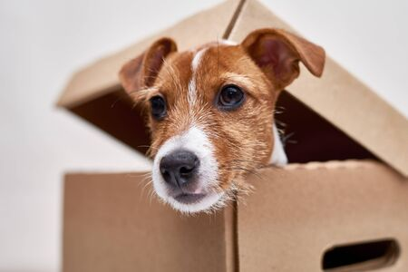 Jack Russel terrier in cardboard box, close up. Pet as a gift. Mooving with dog