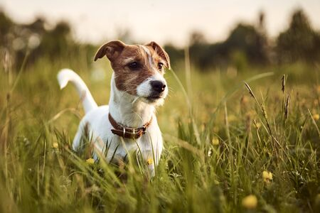Portrait of jack russell terrier dog outside in the evening