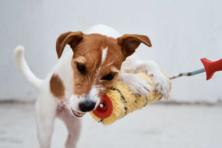 Dog jack russell terrier playing with paint roller in white room. Renovation concept