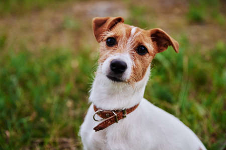 Dog on the grass in a summer day. Jack russel terrier puppy looks at camera