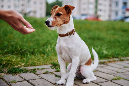 Owner feed his dog outside. Jack Russel terrier eats food from owner hand
