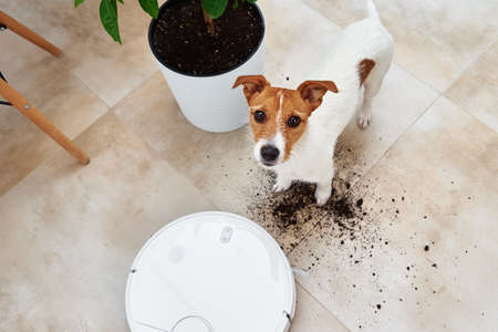 Plant soil on the floor and sad dog looking at camera. Pet damage concept. Robot vacuum cleaner clean floor