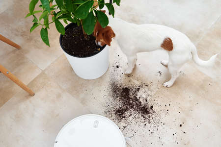 The dog scattered plant soil to the floor. Pet damage concept. Robot vacuum cleaner clean floor