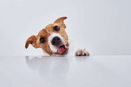 Jack Russell terrier dog eat meal from a table. Funny dog portrait on white background