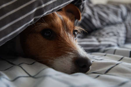 Pet under blanket in bed. Portrait of sad dog warms in cold weather