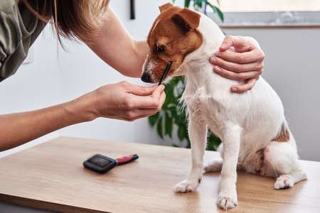 Woman brushing dog. Owner combing Jack Russell terrier. Pet care Zdjęcie Seryjne