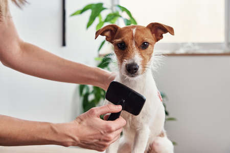 Woman brushing dog. Owner combing Jack Russell terrier. Pet care Stock Photo