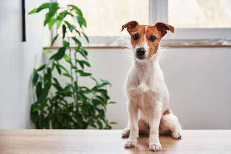 Dog portrait at home. Jack Russell terrier looking at camera