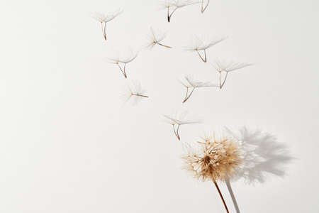 Dandelion flower with flying blow buds on white background Archivio Fotografico