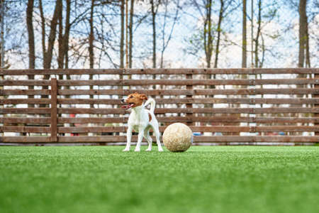 Dog Play with football ball on green grass