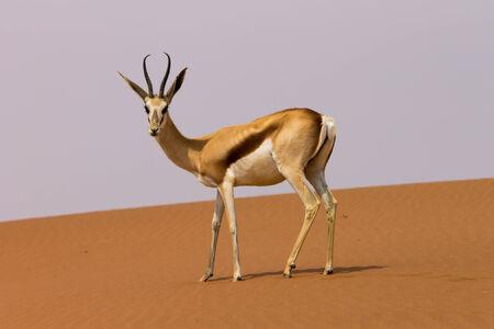 springbok: Springbok in the Sossusvlei