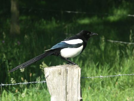 pecker: A magpie sitting on a post. Stock Photo