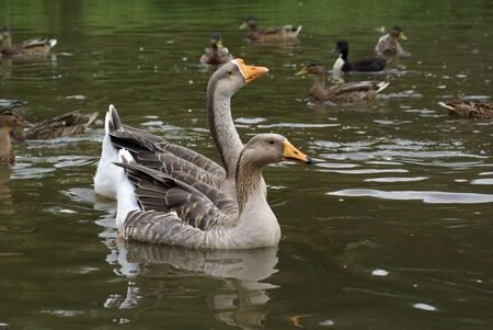 pecker: Two geese in the middle of a few ducks.