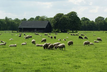 Grazing sheep in a meadow with a barn in the background.