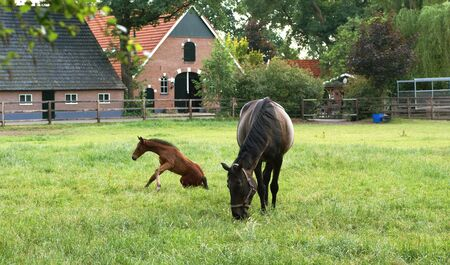 farmlife: Mare with foal with dutch farm in the background. Stock Photo