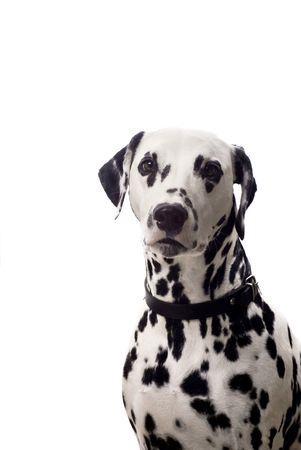 Dalmatian dog isolated on white with copyspace. photo