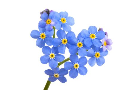not to forget: Forget me not, little flowers in heart shape, isolated on white.
