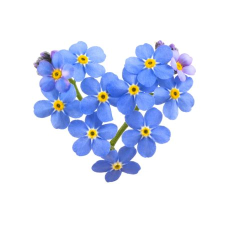 Forget me not, little flowers in heart shape, isolated on white. photo