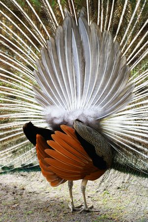 Nice view at the lines of a peacocks behind. Stock Photo - 5128243