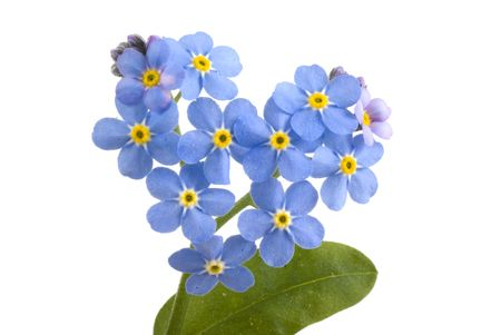not to forget: Forget me not, sweet little flowers on a white background.
