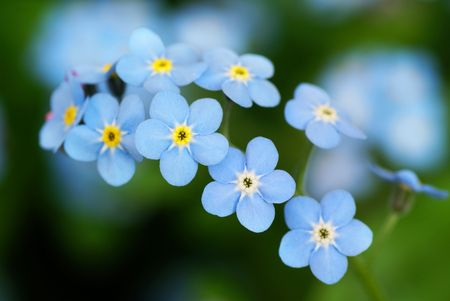 Macro shot of beautiful the little blue forget me not flowers. photo