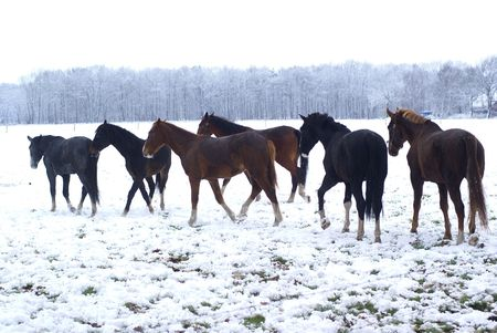 Small herd of horses in a snowy meadow. Stock Photo - 5756324