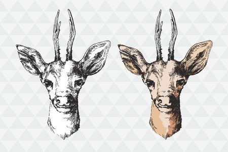 rut: hand drawn image of the tail buck deer head with antlers vector illustration animal isolated on white background Illustration