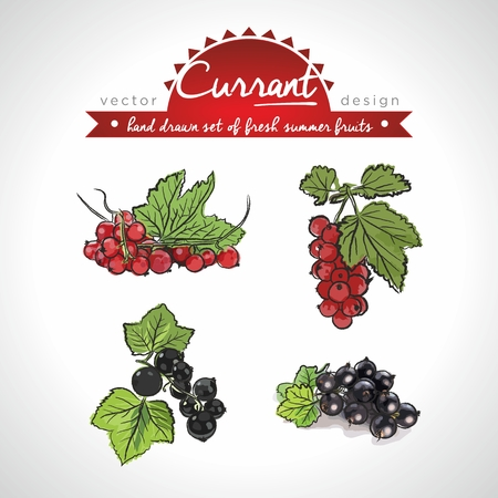 Currant. Hand drawn collection of vector sketch of fresh fruits. Isolated