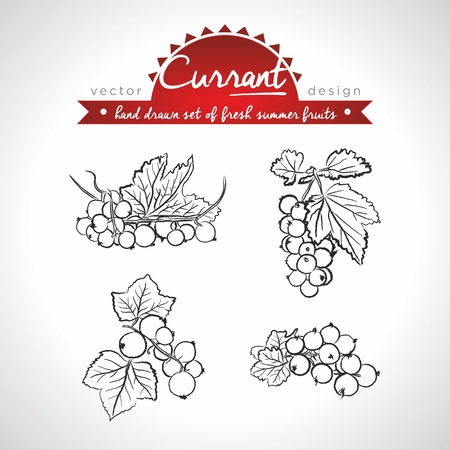 Currant Collection of fresh fruits with leaf. Vector illustration. Isolated
