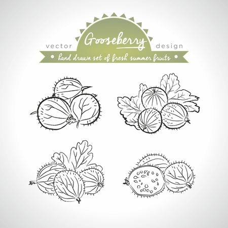 Gooseberry Collection of fresh fruits with leaf. Vector illustration. Isolated Standard-Bild - 120278683