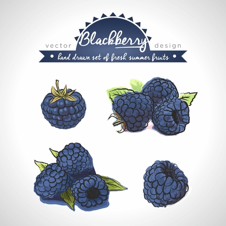 Blackberry  Vector Illustration Keywords: Isolated