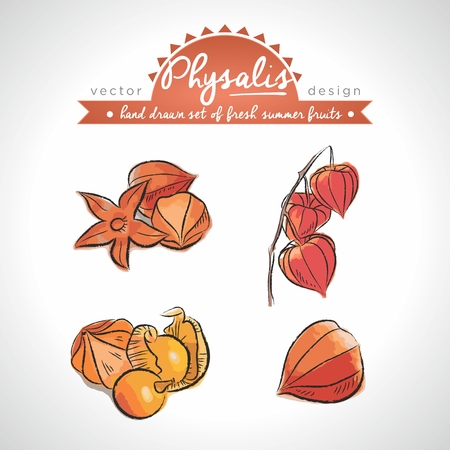Physalis. Vector Illustration Categories: Isolated. Chinese Lantern Plants 向量圖像