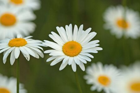 single white daisy in a field of many Stock Photo - 5920580