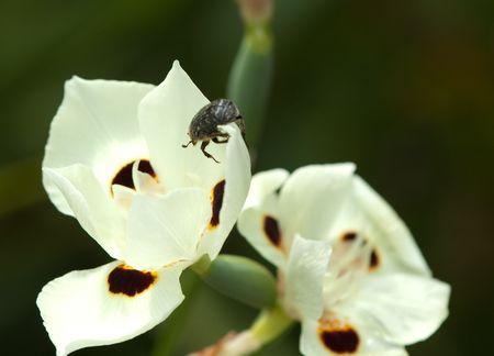 beetle on white flower from Bermuda