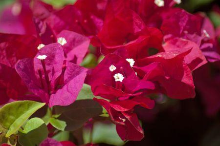 dark pink flowers from Bermuda