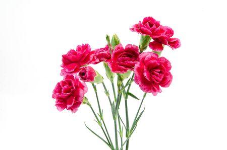 carnation flowers Stock Photo - 16159146