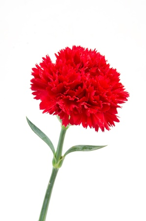 Red carnation flower Stock Photo - 16159112
